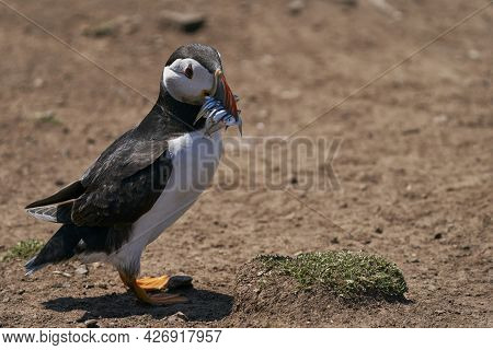 Puffin (fratercula Arctica) Carrying Small Fish In Its Beak To Feed Its Chick On Skomer Island Off T