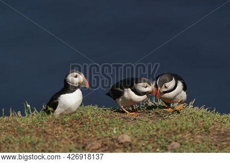Puffins (fratercula Arctica) Socialising On Skomer Island Off The Coast Of Pembrokeshire In Wales, U
