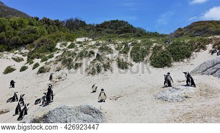Colony Of Wild Penguins In Cape Town. Black And White Birds Are Standing On The Sand. Green Vegetati