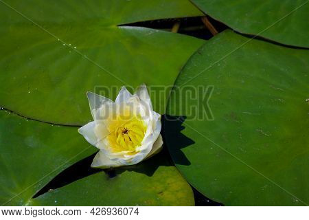 White Water Lily Nymphaea Alba With Yellow Stamens