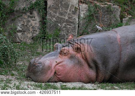 Hippopotamus, Hippopotamus Amphibius, Also Called Hippo, Sleeps With Its Head Laid On A Grassy Groun