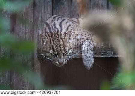 Detail Shot Of A Fishing Cat, Prionailurus Viverrinus, Sleeping On A Wooden Bench With Its Head And