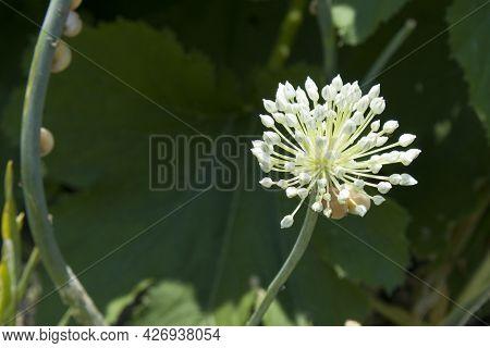 Organic Herb Flower Garlic Flowering Head And Buds In Sunny Garden Close Up