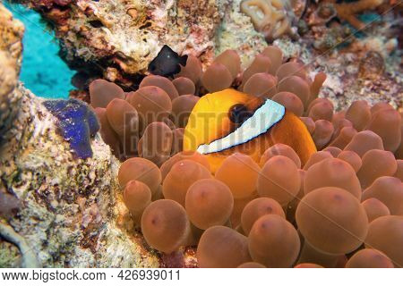 Amphiprion Bicinctus - Two-banded Anemonefish (clownfish) Red Sea