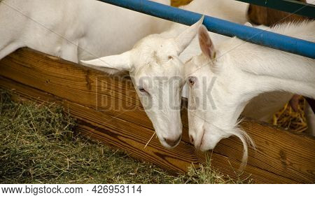 Close-up Photos Of Goats With Passion Faces At The Corral Of Farm. Lovely Couple Little White Goats.