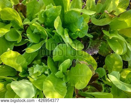 Green Lettuce Leaves Grow In Garden. Harvest Of Fresh Greens. Healthy Food. Top View.  Natural Backg