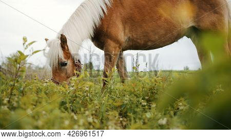 A Flaxen Horse Grazing In The Beautiful Field Meadows. A Light Brown Horse With A Blonde Mane Eating