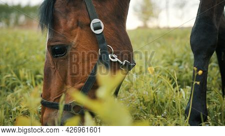 A Horse Grazing In The Beautiful Field Meadows. A Dark Bay Horse With A Black Mane Eating Grass On T
