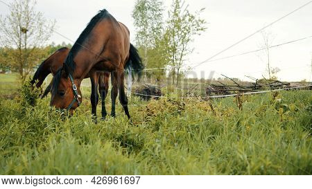Horses Grazing In The Beautiful Field Meadows. A Dark Bay Horse Eating Grass On The Horse Farm. Tree