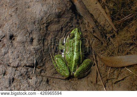 Common Green Frog Sitting In The Water In Sunlight. Resting Amphibian Pelophylax Esculentus, Top Vie