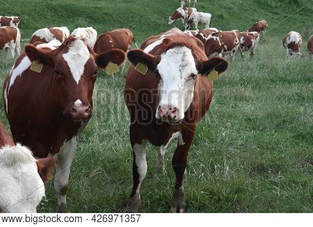 Cow Head, Cow Eating Grass, Agriculture, Farm Or Ranch