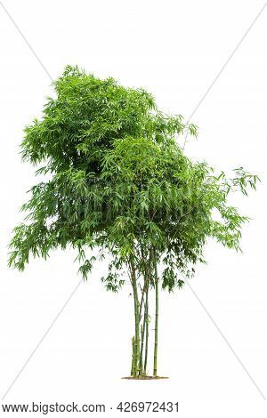 Bamboo Tree, Bamboo  Isolated Tree On White Background Tropical Tree