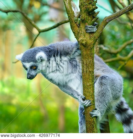 Lemur Perched On A Tree Branch Looking Down.