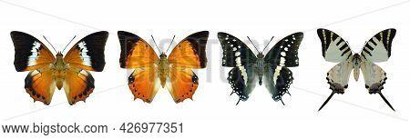 Collection Of Beautiful Butterflies, Common Tawny Rajah, Black Rajah, Five-bar Swordtail In Original