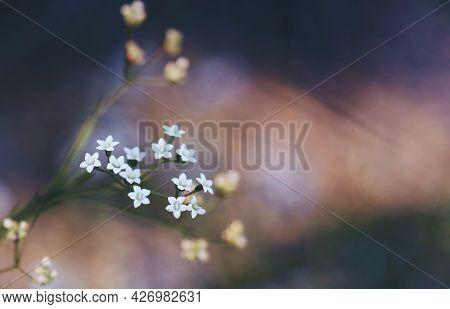 Delicate White Flowers Of The Australian Native Platysace Linearifolia, Family Apiaceae Growing In S