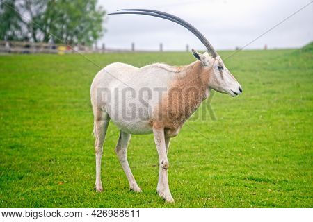 Scimitar-horned Oryx On The Grass In The Park
