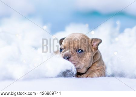 Cute Tiny French Bulldog Puppy Lying Down Between Fluffy Clouds And Stars