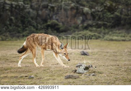 Close Up Of A Rare And Endangered Ethiopian Wolf (canis Simensis) In The Highlands Of Bale Mountains