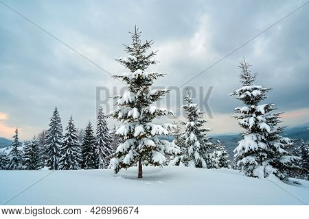 Moody Landscape With Pine Trees Covered With Fresh Fallen Snow In Winter Mountain Forest In Cold Glo