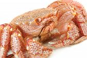 Alive Alaskan king crab on the white table cloth in restaurant poster