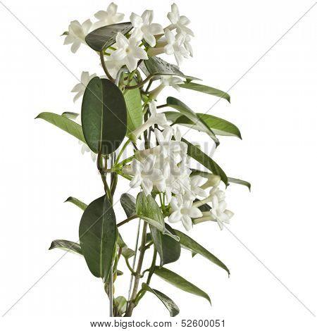 Jasmine Stephanotis floribunda plant isolated on a white background