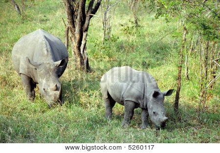 White rhinos, Kruger N. P., South African Republic