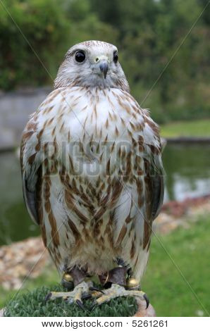 a hybrid bird of prey ( mixed breed ) posing poster