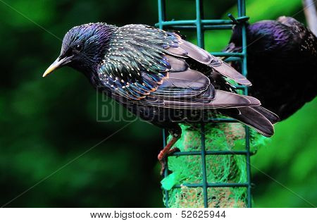 Mature Starling On A Feeder.