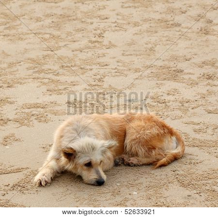 Dirty dog lie down waiting for someone on sand beach. poster