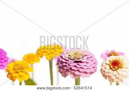 Zinnia Flower Background Border