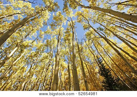 Aspen Trees With Fall Color, San Juan National Forest, Colorado