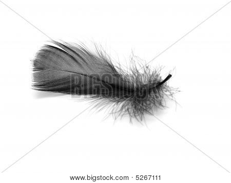 Photo Black feather taken in my studio in May 2009 poster