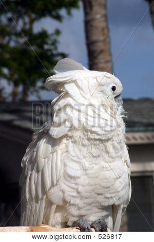 Snowy Cockatoo