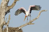 A Yellow Billed Stork flaps its wings in South Africa's Kruger Park. (Mycteria ibis) poster