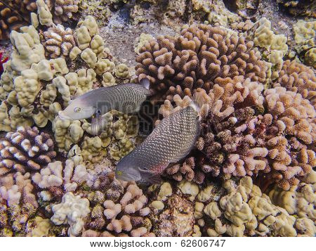 Female Wrasse