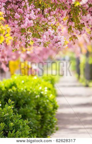 Pink Blossomed Sakura Flowers Street