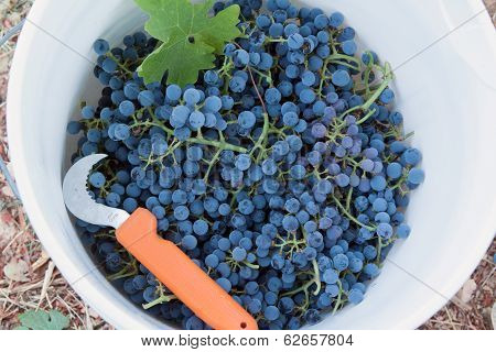 Bucket of wine grapes