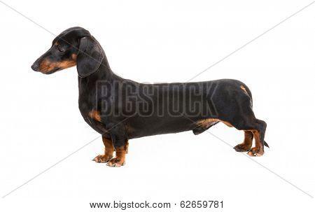dog breed dachshund on white background