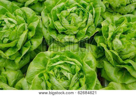 Fresh Green Organic Vegetables At A Vegetable Farm