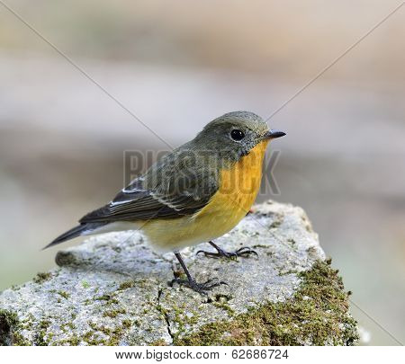 A very Cute female Mugimaki Flycatcher with very nice details on its feathers Ficedula mugimaki bird poster