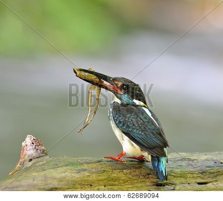 Best shot of Blue-banded Kingfisher alcedo euryzona carrying frog in mouth to feed its chicks standing on the log beside the flowing stream as blur background bird poster