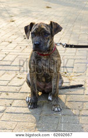 Piebald Short-haired Catahoula Bulldog Puppy Sitting