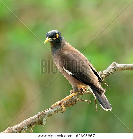 Common Myna Bird (acridotheres Tristis) Perching On A Nice Woodstick