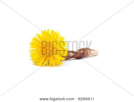 Coltsfoot isolated on white