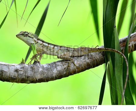Green Crested Lizard Or Boulenger Long Headed Lizard (pseudocalotes Microlepis) Perching On The Bran