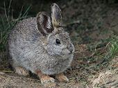 An endangered Columbia Basin Pygmy Rabbit in Eastern Washington poster