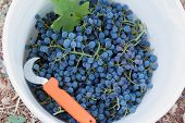 Bucket of freshly harvested Pinot Noir wine grapes poster