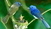 Black-naped Monarch or black-naped blue flycatcher hypothymis azurea asian paradise flycatcher guarding its chicks in the nest while feeding season poster