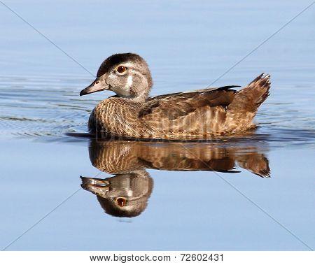 Female Wood Duck Reflection
