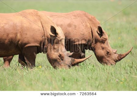 African rhino feeding in the african grass lands poster